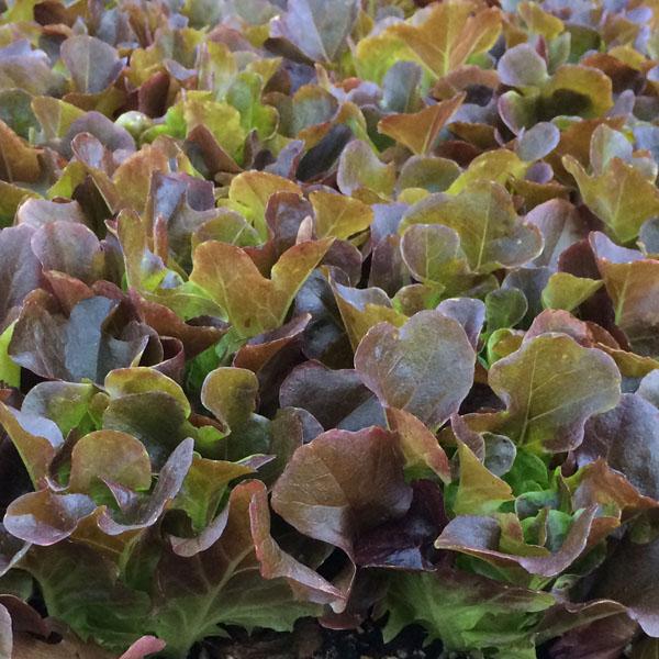 Lettuce 'Salanova Red Multi-Leaf Oakleaf'
