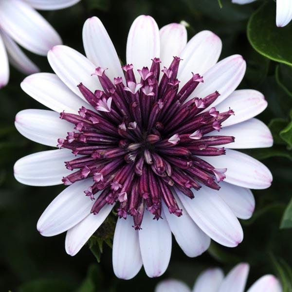 Osteospermum '4D Berry White'