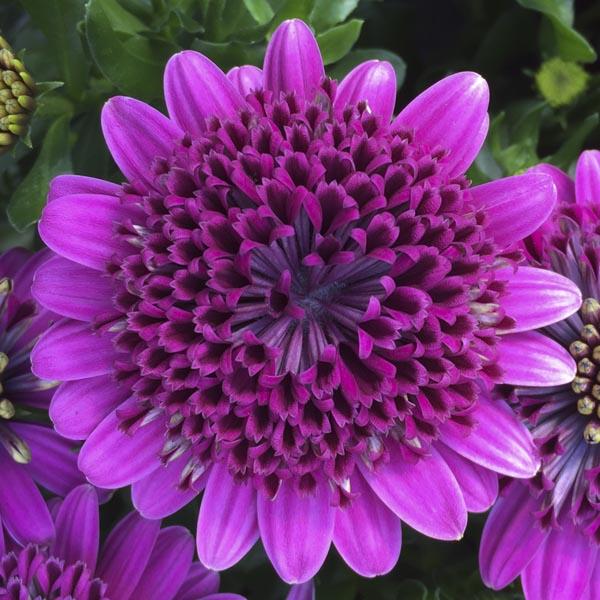 Osteospermum '4D Purple'