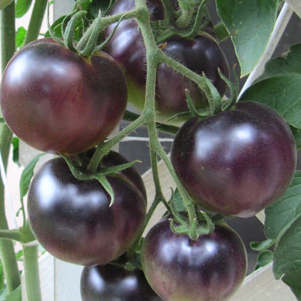 Tomato 'Indigo™ Apple'