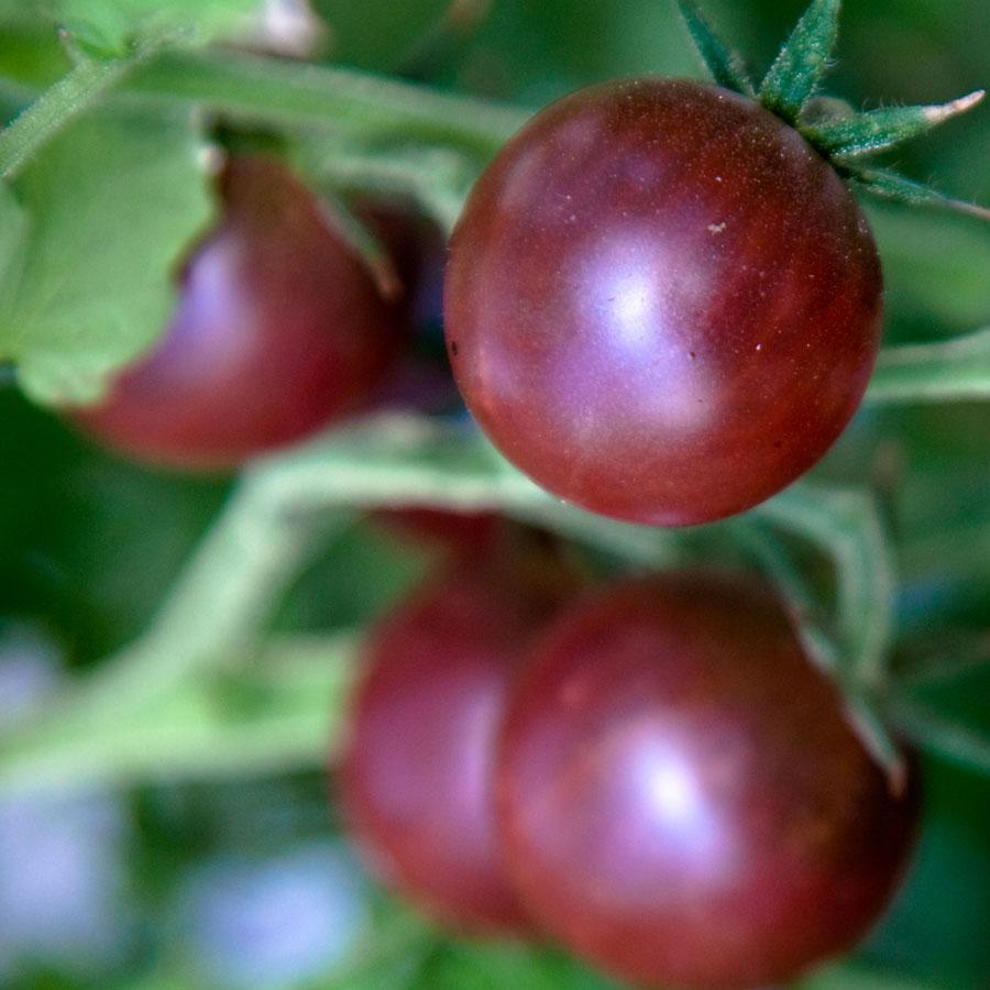 Tomato 'Black Cherry' cherry tomato