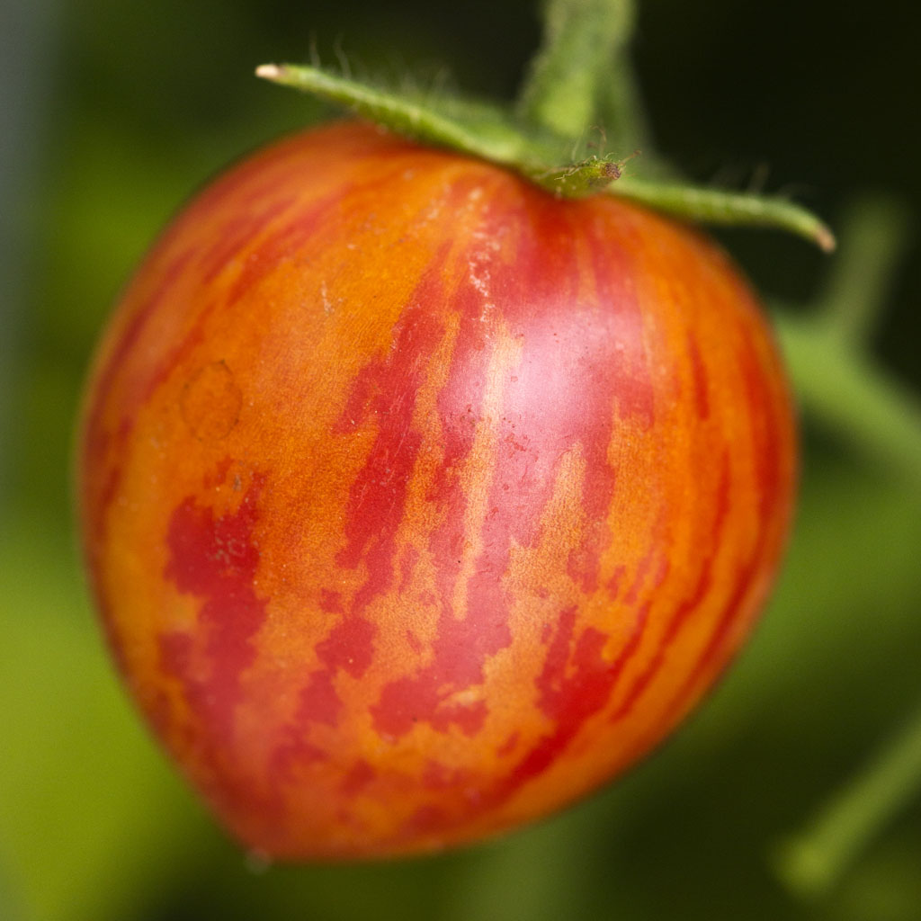 Tomato 'Bumblebee™ Pink' Cherry Tomato