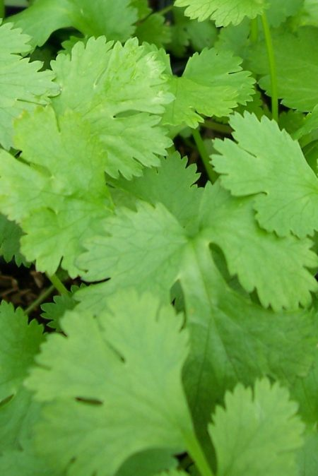 CILANTRO 'Santo' (Coriandrum sativum)