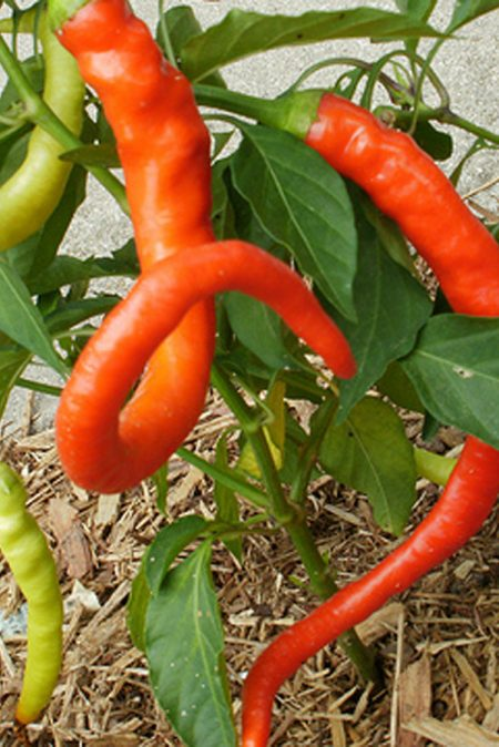 Heirloom Pepper (Sweet) 'Corbaci'