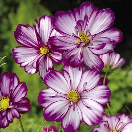 Cosmos bipinnatus 'Fizzy Rose Picotee'
