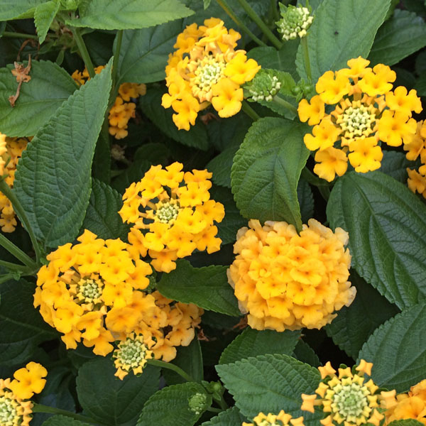 Lantana 'Little Lucky Pot of Gold'
