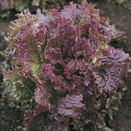 Lettuce 'New Red Fire' looseleaf