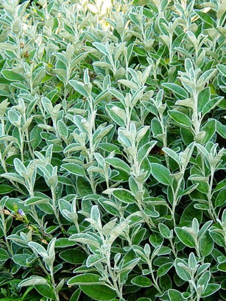 SENECIO greyii (daisy bush)