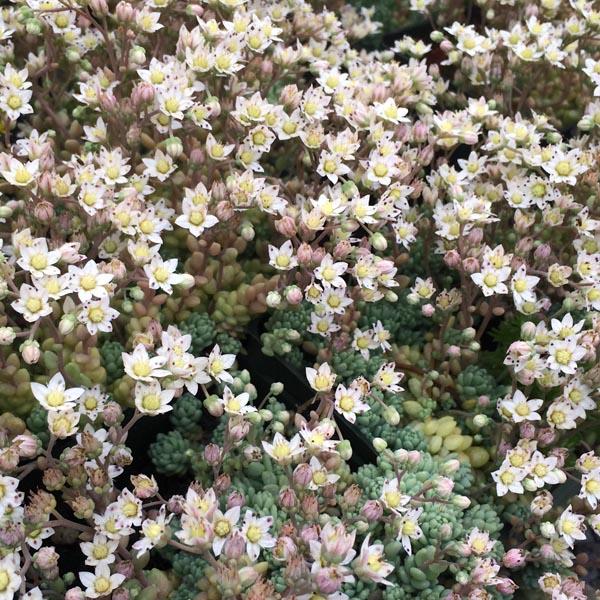 Sedum dasyphyllum 'Major' (stonecrop)