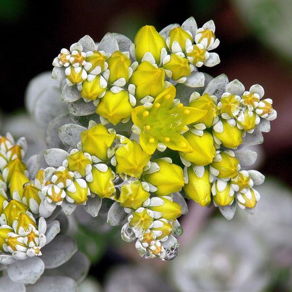 Sedum spathulifolium 'Cape Blanco' (stonecrop)