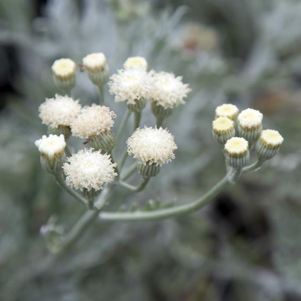 Senecio vira-vira (daisy bush)
