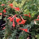 Zauschneria californica 'Dublin' (willow weed)