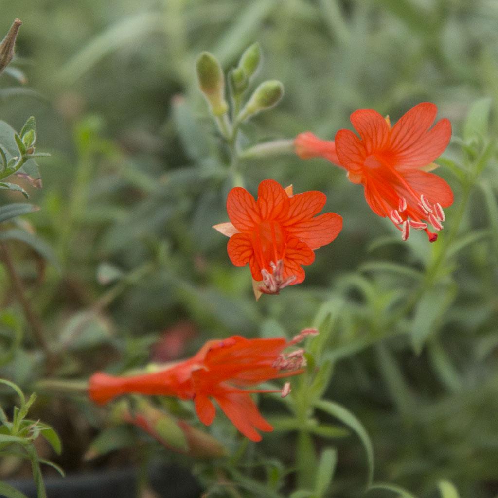 Zauschneria californica 'Dublin' (hummingbird fuchsia)