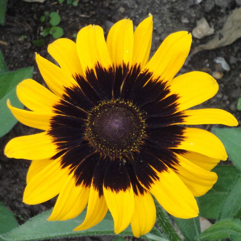 Rudbeckia hirta 'Sonora' (black-eyed susan)