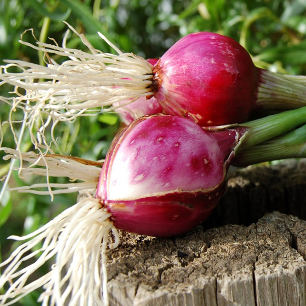 Onion 'Purplette' mini onion