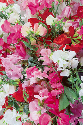 Lathyrus odoratus 'Winter Elegance Mix' Winter Elegance Sweet Pea