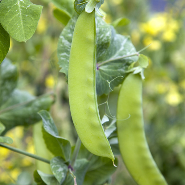 Pea 'Green Beauty' Snow Pea