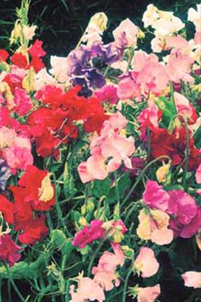 Lathyrus odoratus 'Knee-Hi Mix' Dwarf Sweet Pea