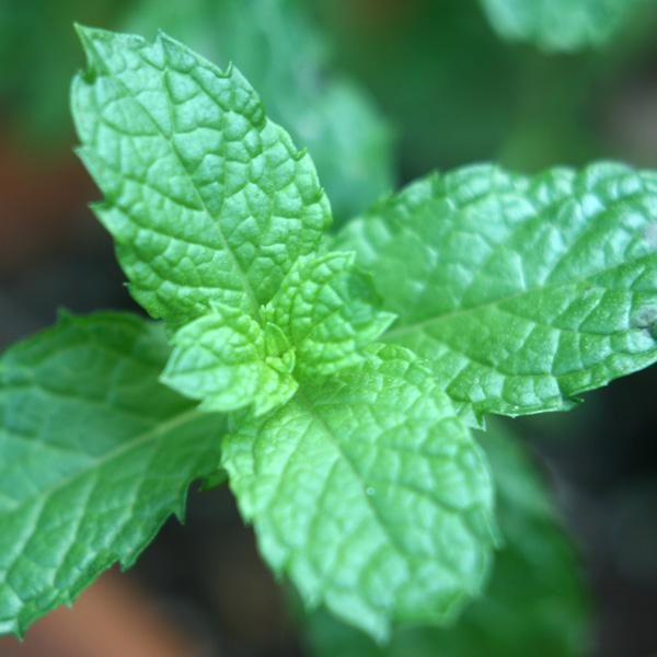 Mint 'Kentucky Colonel' (mentha spicata)