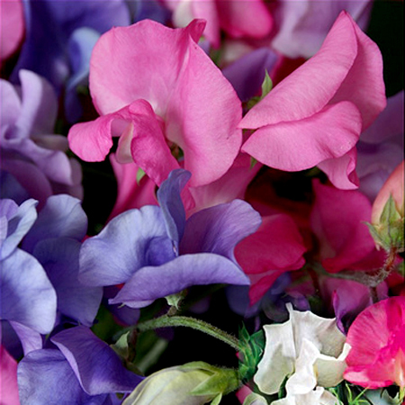 Lathyrus odoratus 'Supersnoop Mix' Dwarf Sweet Pea