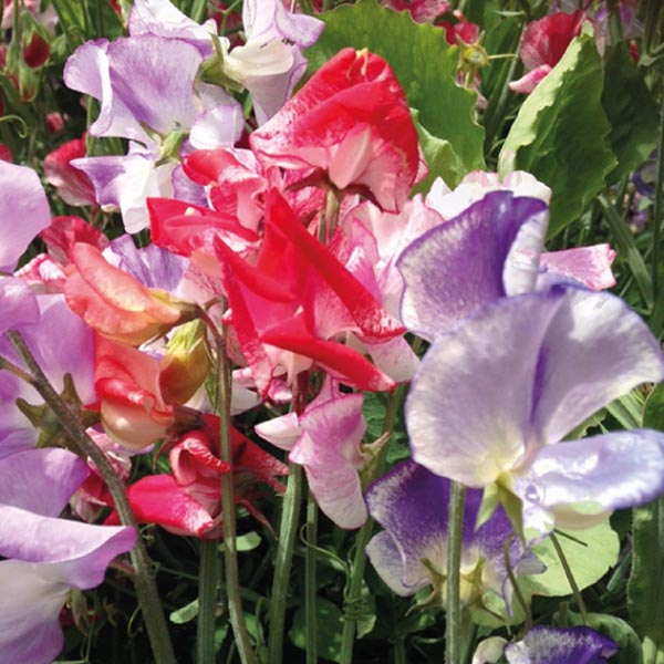 Lathyrus odoratus 'Streamers Mix' Spencer Sweet Pea