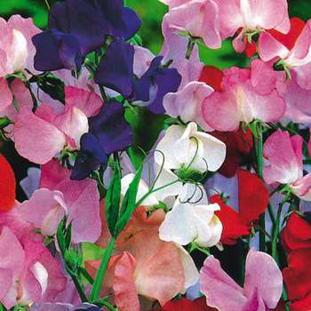 Lathyrus odoratus 'Royal Choice Mix' Royal Sweet Pea