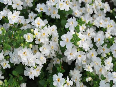 Bacopa 'Scopia Double Snowball'