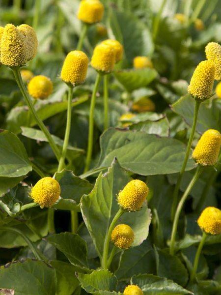 Buzz Buttons (spilanthes oleracea)