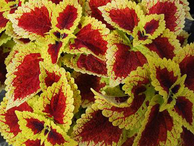 Coleus 'Stained Glassworks Raspberry Tart', Tall