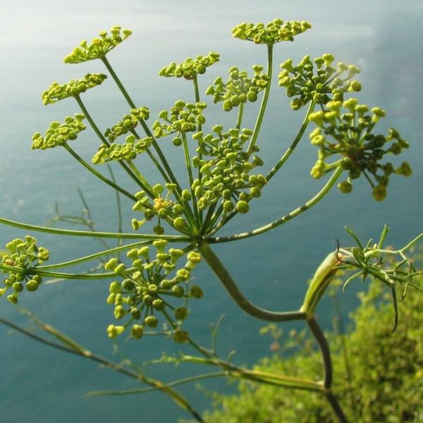 Fennel Pollen (finocchio selvatico)
