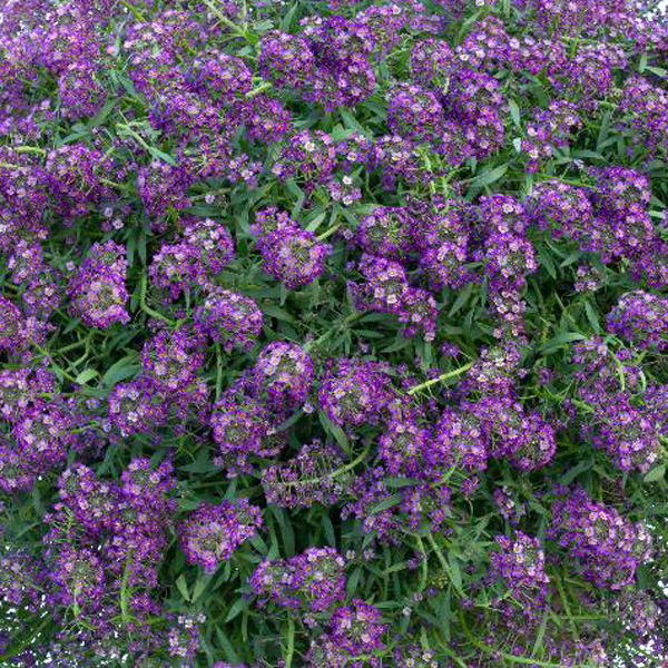 Lobularia 'Purple Stream'