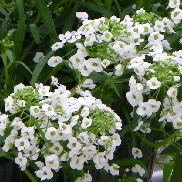 Lobularia 'White Knight'