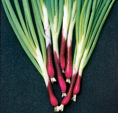 Onion 'Deep Purple' bunching scallion