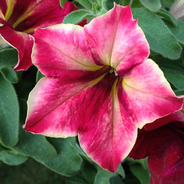 Petunia 'Crazytunia Mandeville'