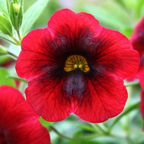 Petunia 'Calibrachoa Superbells Pomegranate Punch' Single
