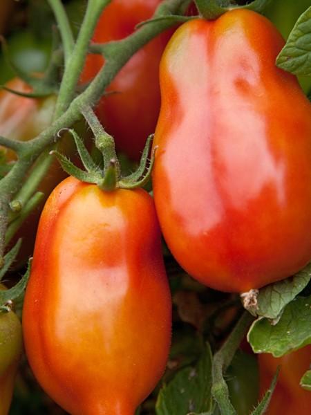Heirloom Tomato 'San Marzano Redorta'