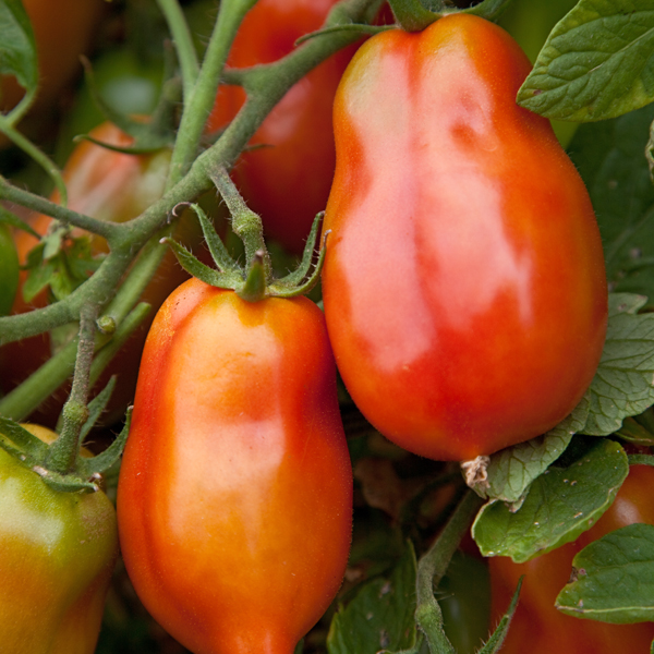 Heirloom Tomato 'San Marzano Redorta'