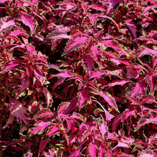 Coleus 'Stained Glassworks Luminesce', Dwarf