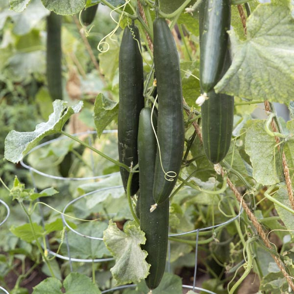 Cucumber 'Giga Bites' Grafted Mighty Veggie