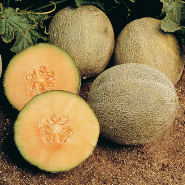 Heirloom Melon 'Ambrosia' Cantaloupe Grafted Mighty Veggie