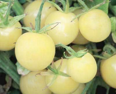 Tomato 'Snow White' Grafted Mighty 'Mato
