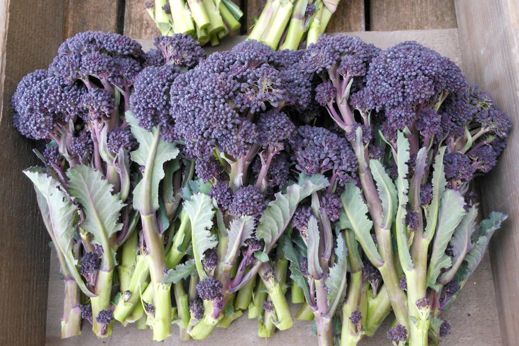 Broccoli 'Red Fire'