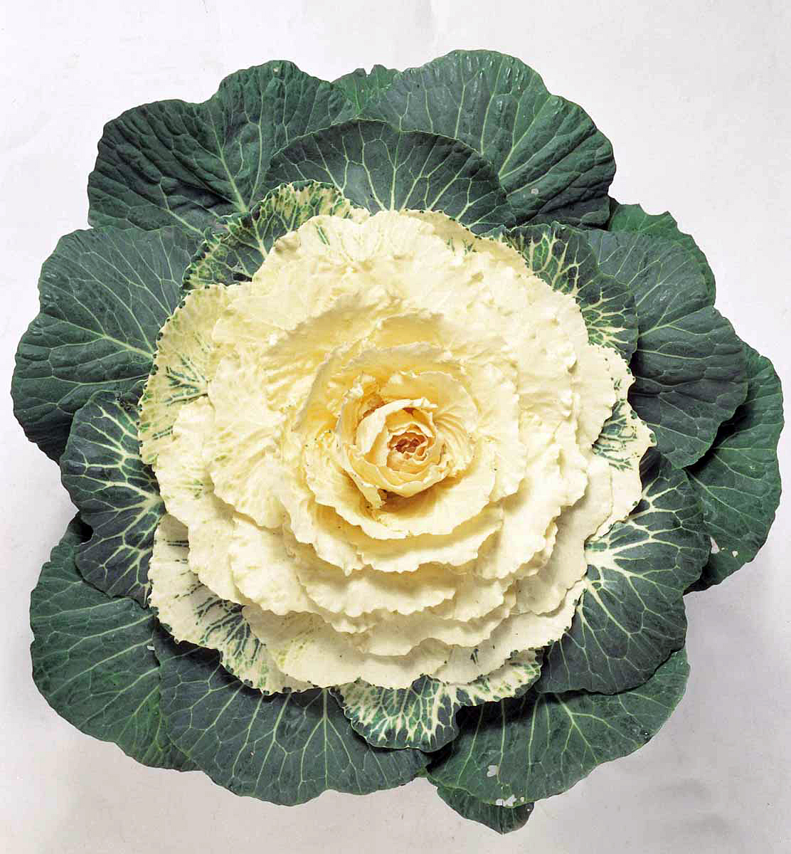 Flowering Cabbage Tokyo White Log House Plants