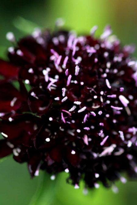 Scabiosa atropurpurea 'Black Knight'