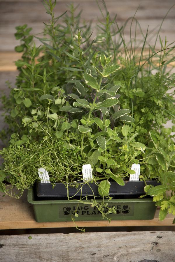 Culinary Perennial Herbs