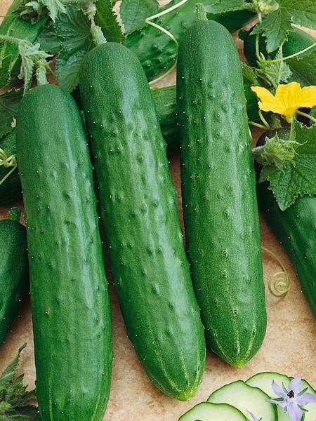 Cucumber 'Saladmore Bush' Slicing F1