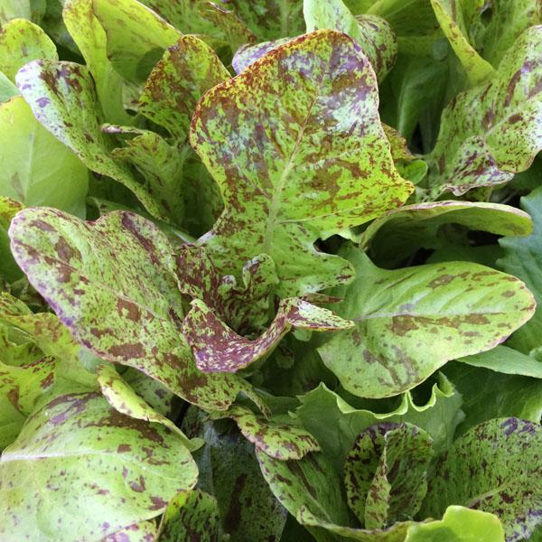 Lettuce 'Flashy Butter' Oakleaf