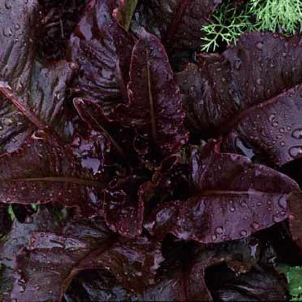Lettuce 'Really Red Deer Tongue' Looseleaf