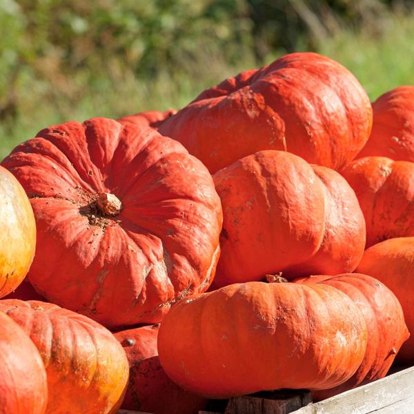 Pumpkin 'Cinderella's Carriage'
