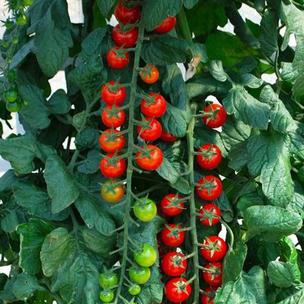 Tomato 'Rapunzel' Cherry Tomato